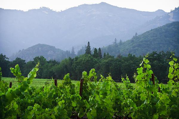 Dina Calvarese - Napa Valley Vineyard Summer