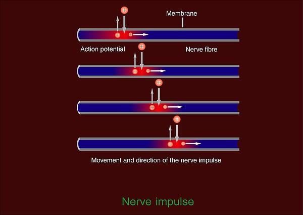 Nerve Impulse Propagation, Diagram Print by Francis Leroy, Biocosmos