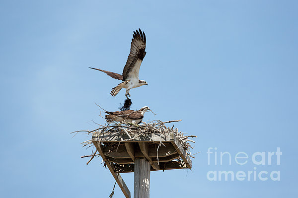 Nesting Osprey In New England Print by Erin Paul Donovan