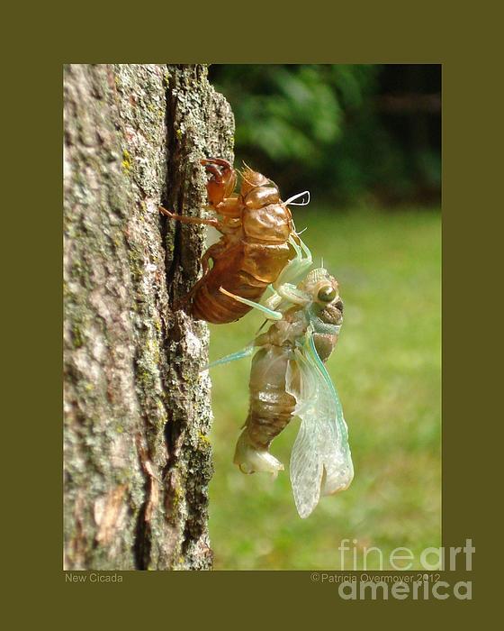 Patricia Overmoyer - New Cicada