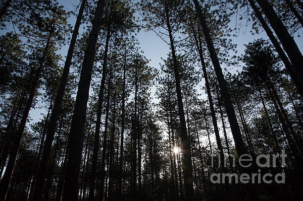 New England Red Pine Forest Print by Erin Paul Donovan