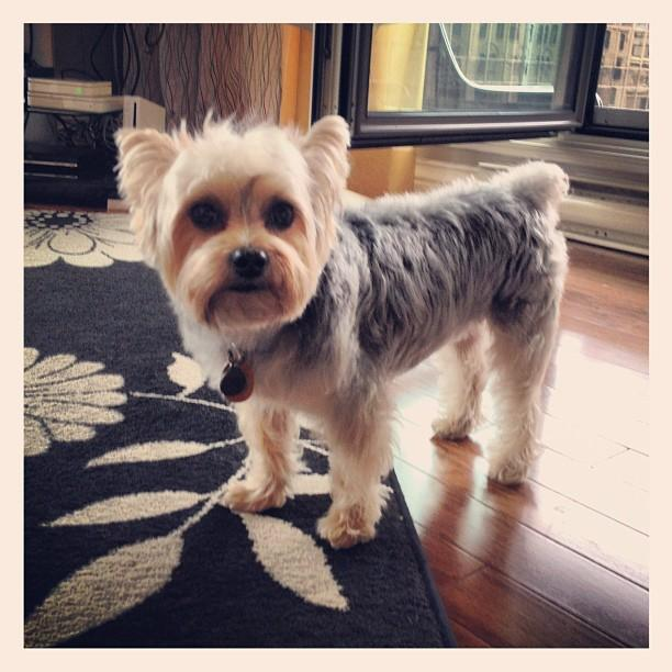 Morkie Haircuts Related Keywords & Suggestions - Morkie