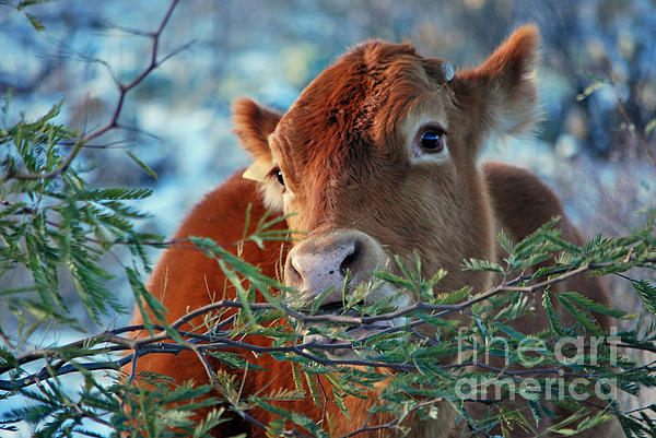 Donna Van Vlack - New Years Morning Cow