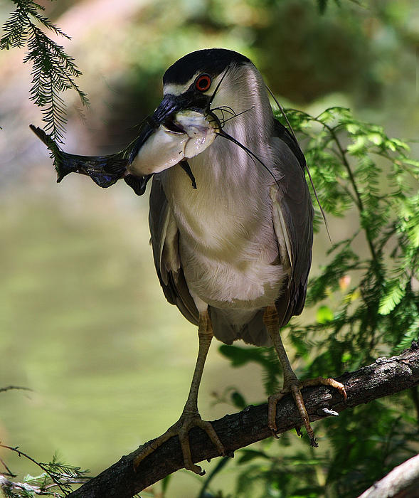 Night Heron With His Catch Print by Paulette Thomas