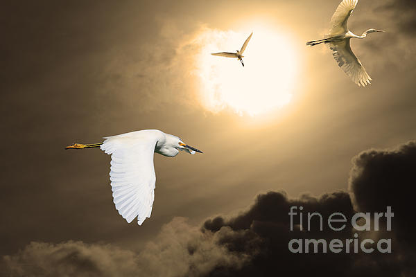 Night Of The White Egrets . Partial Sepia Print by Wingsdomain Art and Photography
