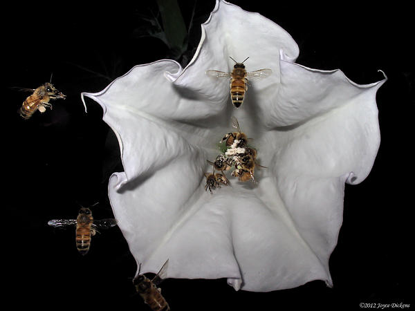 Joyce Dickens - Nine Bees Hard At Work