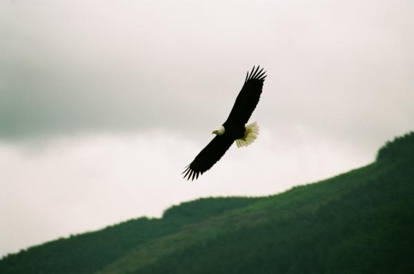 Nooksack Eagle Print by Brent Easley