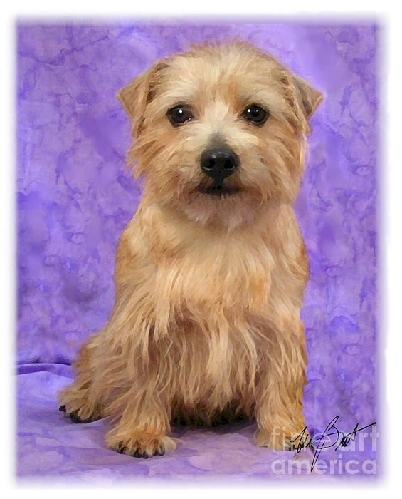Norfolk Terrier Pup Print by Maxine Bochnia