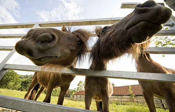 North Yorkshire, England Horses Looking Print by John Short