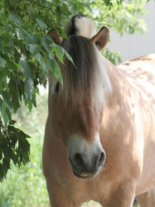 Norwegian Fjord Horse In The Shade Print by Laurie With