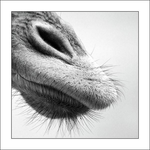 Nose Print by Photo by Jaap Verhoeven - www.jaapverhoeven.nl
