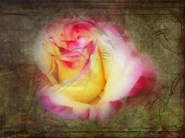 Cindy Wright - Nostalgic Rose Fragrance