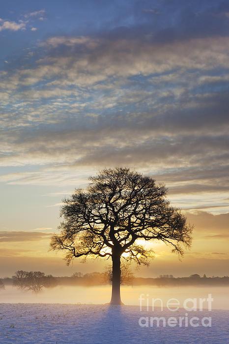 Oak Tree December Sunrise Askham Bryan York 2009 Print by John Potter