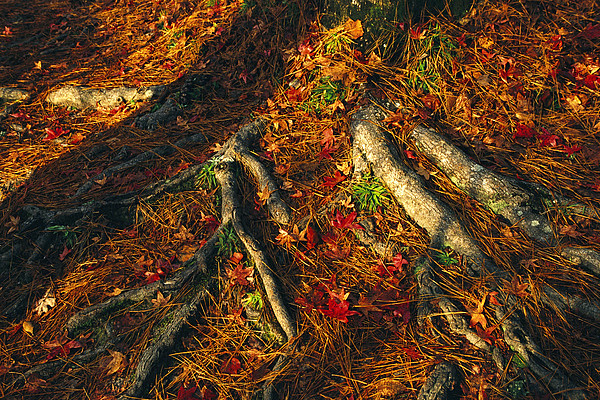 Oak Tree Roots And Pine Needles Print by Raymond Gehman