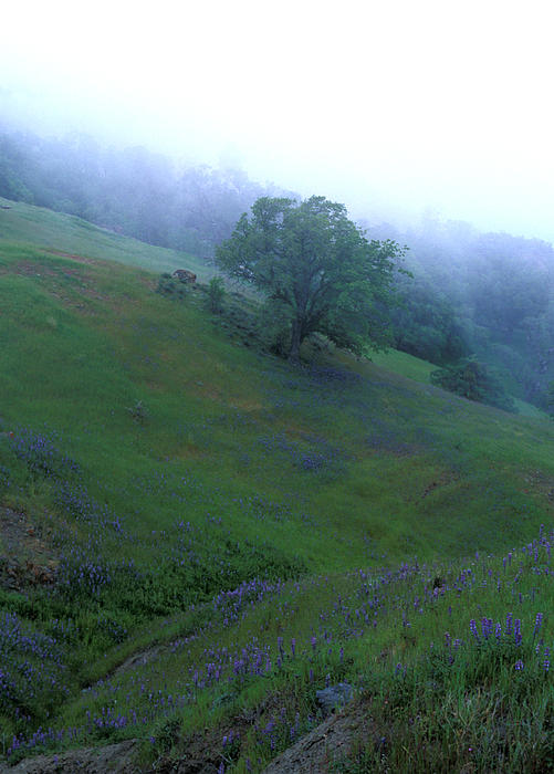 Kathy Yates - Oak with Lupine in Fog