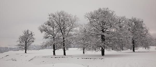 Oaks In Winter Print by Gabriela Insuratelu
