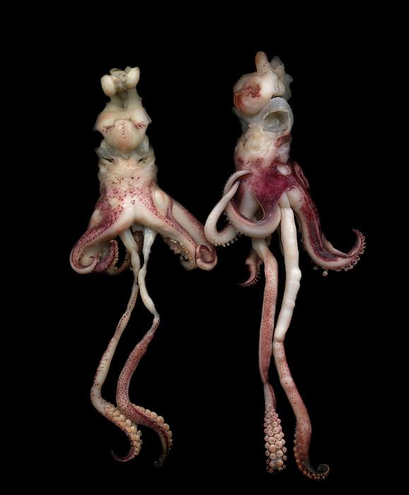Octopus Print by Photograph by Magda Indigo