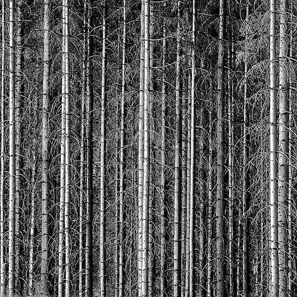 Old Forrest Print by Kristian Westgård