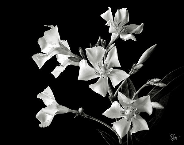 Oleander In Black And White Print by Endre Balogh
