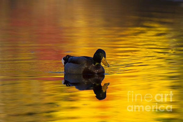On Golden Waters Print by Mike  Dawson