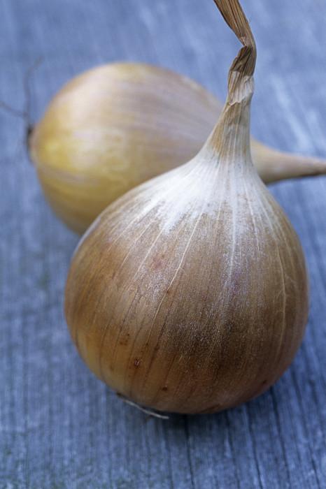 Onion (allium Cepa 'ailsa Craig') Print by Maxine Adcock