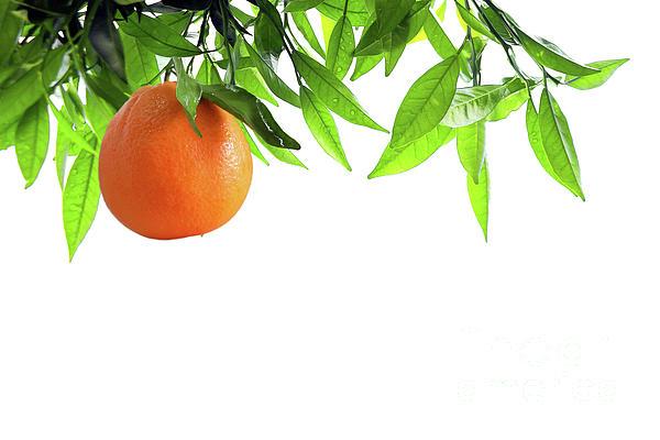 Orange Branch Print by Carlos Caetano