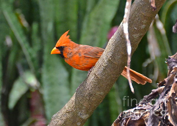 Orange Cardinal Print by Carol  Bradley