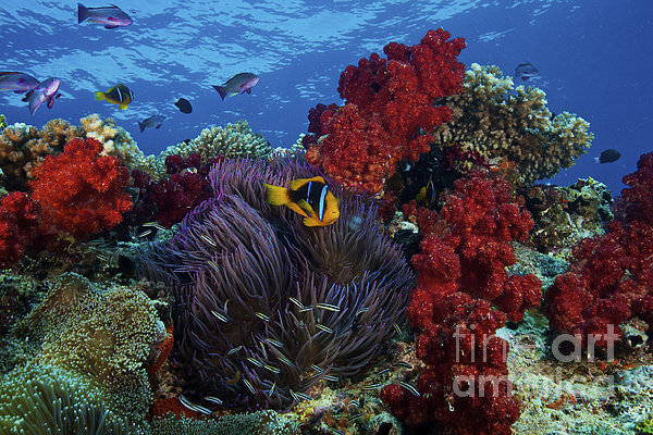 Orange-finned Clownfish And Soft Corals Print by Terry Moore