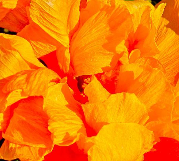 Orange Frills Print by Gwyn Newcombe
