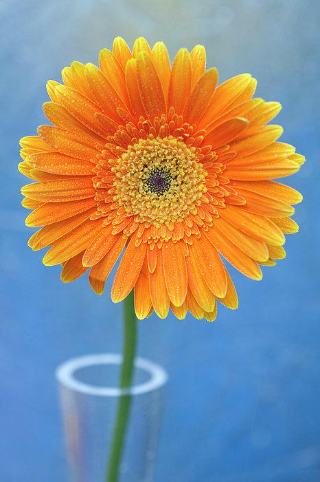 Orange Gerbera Daisy  Propped In Glass Vase Print by Photography by Gordana Adamovic Mladenovic