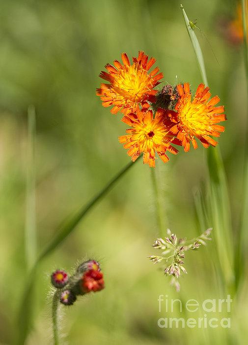 Nina Stavlund - Orange Hawk Weed