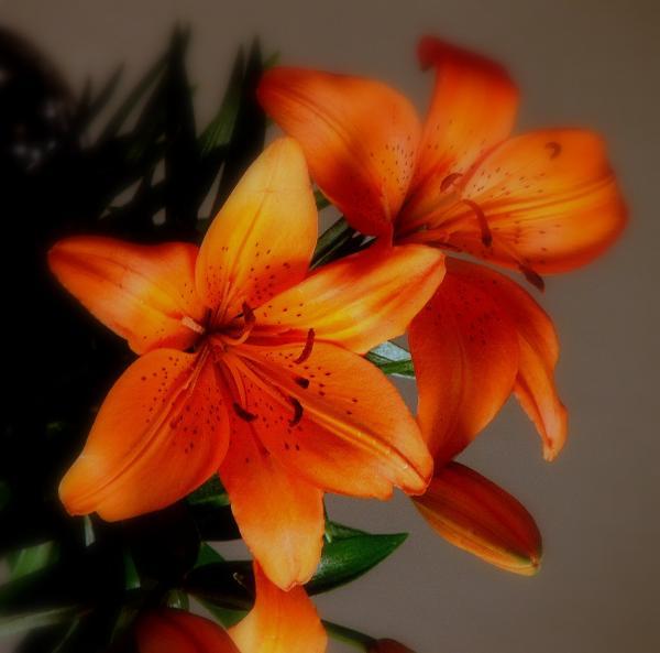 orange lilies   thiswebsitetest