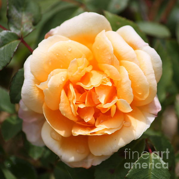 Orange Rose Square Print by Carol Groenen