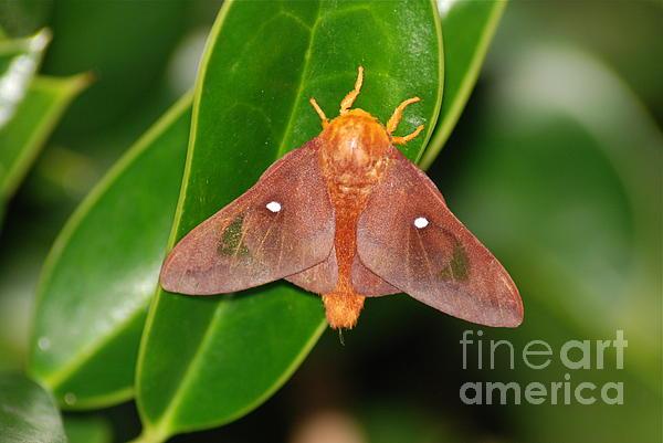 Kathy Gibbons - Orange Striped Oakworm Moth
