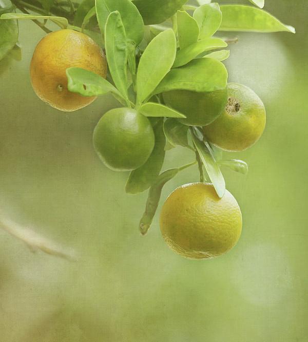 Oranges Growing On Tree Print by Kim Hojnacki