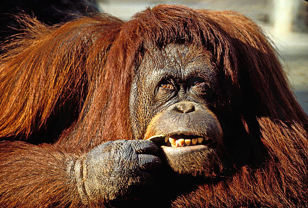 Orangutan  Print by Garry Gay