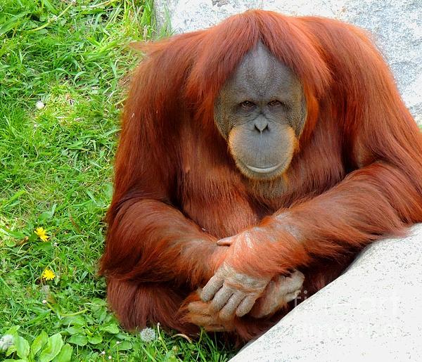 Gary Harris - Orangutan