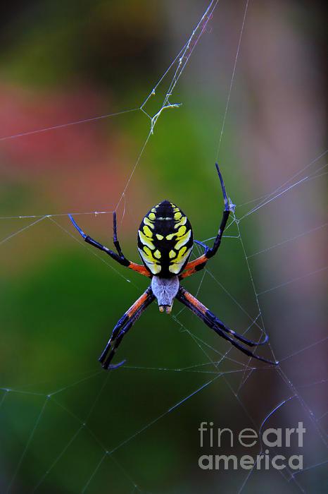Melissa Petrey - Orb Spider