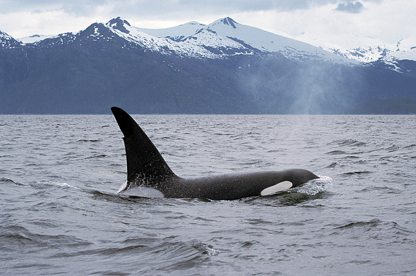 Orca Orcinus Orca Surfacing Print by Konrad Wothe