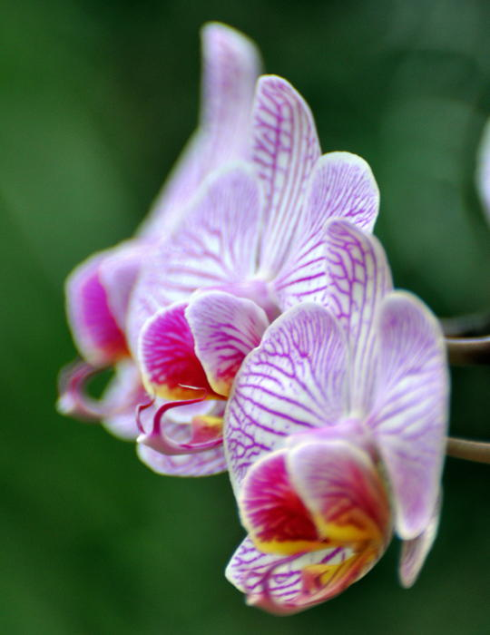 Orchid 30 Print by Marty Koch