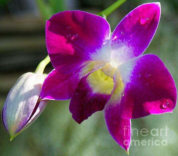 Angela DiPietro - Orchid