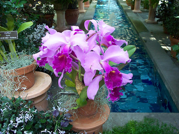 Valerie Longo - Orchids By The Poolside