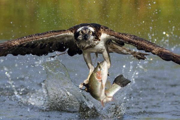 Scott  Linstead - Osprey Catching Trout