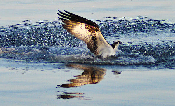 Osprey Crashing The Water Print by Bill Cannon