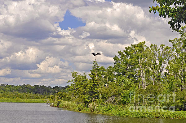 Osprey From Flight Print by Donnie Smith