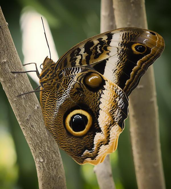 Bill Tiepelman - Owl Butterfly 1