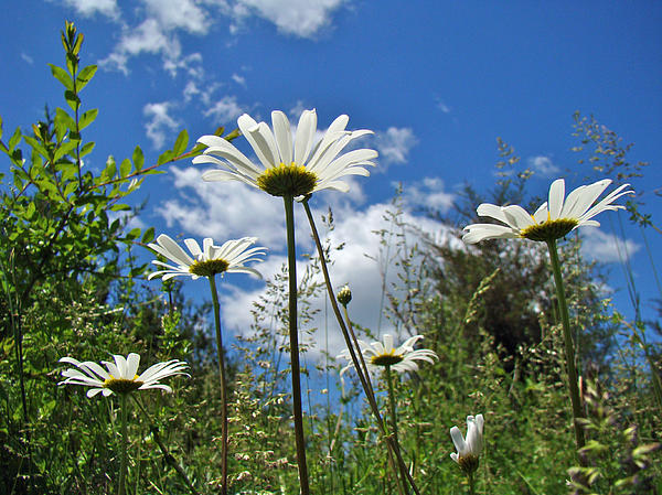Mother Nature - Oxeye Daisies Wildflowers - Leucanthemum vulgare