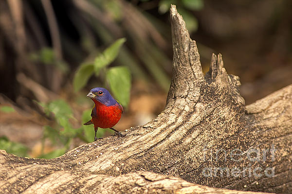 Anne Rodkin - Painted Bunting On Log
