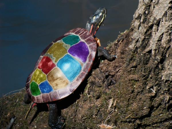 Painted Painted Turtle Print by Warren M Gray
