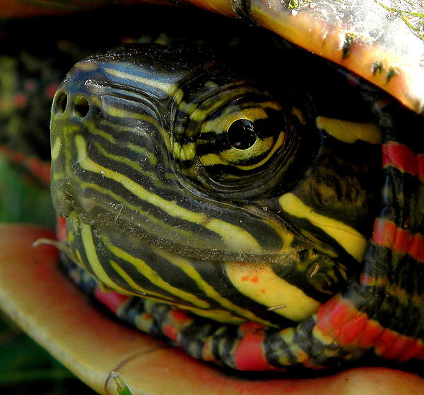 Painted Turtle Print by Griffin Harris